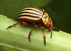 La Dorifora è un vorace coleottero polifago che infesta principalmente le solanacee.