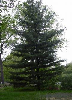 Le conifere spesso effettuano un'azione diserbante a volte non gradita nei giardini domestici.