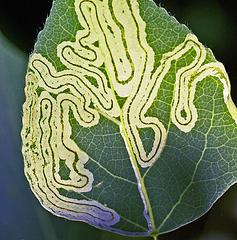 foglia attaccata da parassiti minatori fogliari pianta malata con patologia vegetale