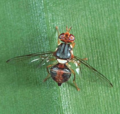 mosca ulivo. parassita insetto dell'ulivo olea europea malattie olive uliveto infestazione olio italiano leccino casaliva frantoio malattie olivo