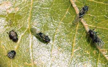 Psilla del pero, parassita delle pomacee e del lauroceraso, deforma le foglie giovani e attira altri parassiti ed insetti dannosi al giardino