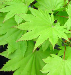 Acero guida completa alla coltivazione for Acero riccio