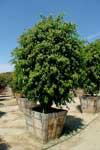 arbusto-giapponese