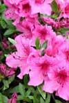 fiori-del-giappone