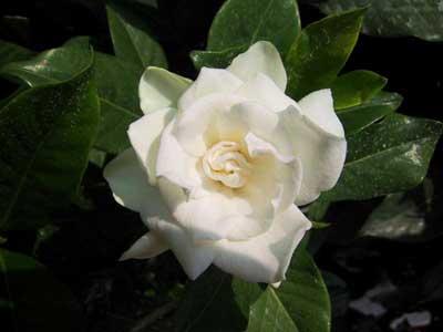 La gardenia guida alla coltivazione e manutenzione - Gardenia pianta da giardino ...