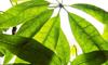 pachira-foglie